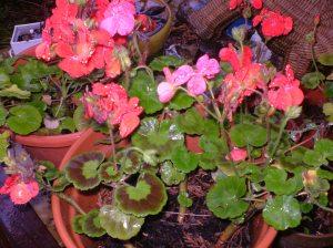 Geraniums in the rain
