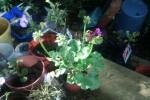 Straggly geraniums